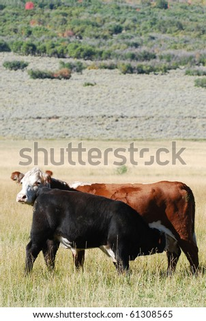 Mother cow with calf nursing in an open pasture.