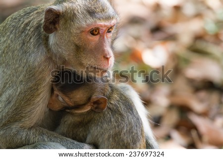 Mother Crab-eating macaque feeding her baby at the park. - stock photo