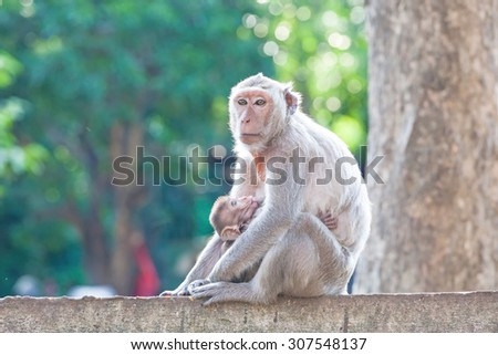 Mother Crab-eating macaque feeding her baby on concrete fence in the park