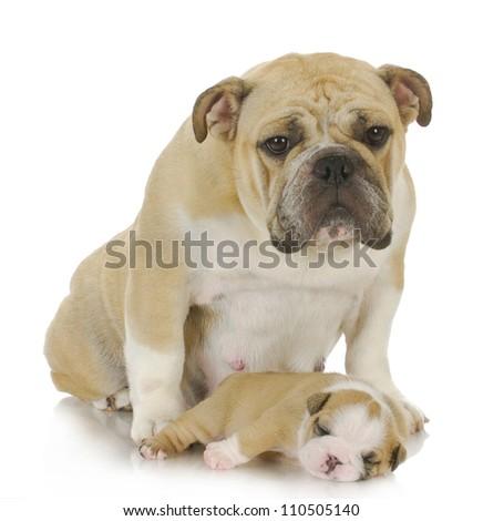 mother dog and three week old puppy - english bulldog - stock photo