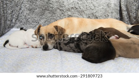 Mother Dog Nursing Her Young Puppies