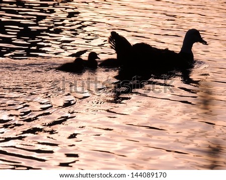Mother Duck and Ducklings in Silhouette - stock photo
