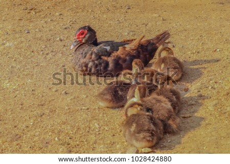 Mother Duck Her 7 Baby Ducks Stock Photo (Royalty Free) 1028424880 ...