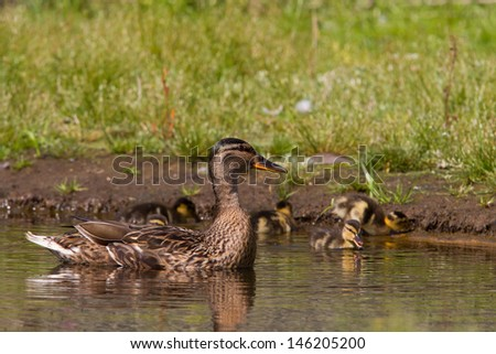 Mother duck guarding ducklings while they forage - stock photo