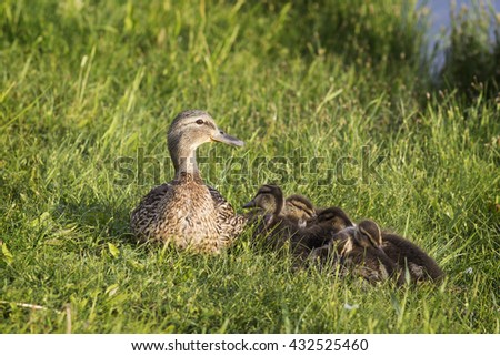 Mother duck protects her ducklings. - stock photo