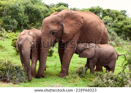 Mother elephant with two yuong calfs in Natural Reserve, South Africa