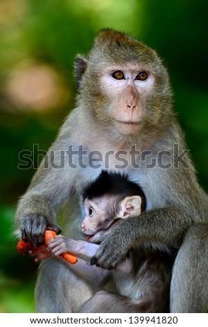 Mother feeding baby monkeys are monkeys. - stock photo