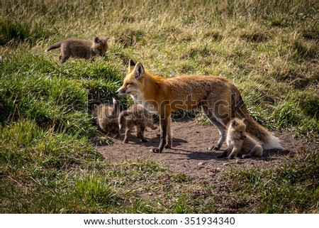 Mother fox and her kits in the wild