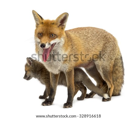 Mother fox with her cub (7 weeks old) in front of a white background - stock photo
