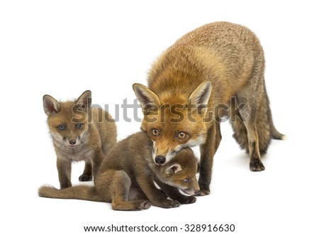 Mother fox with her cubs (7 weeks old) in front of a white background - stock photo