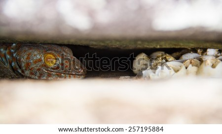 mother gecko guarding eggs in rock crevices. - stock photo