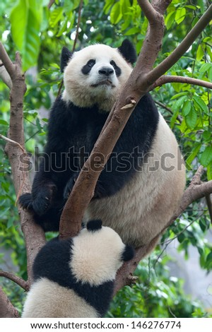Mother giant panda bear in tree with cub - stock photo
