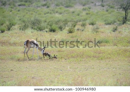 Mother gives newborn lamb a gentle nudge.. Springbuck birth sequence in the kalahari, Urikaruus,Kgalagadi transfrontier park, South Africa,