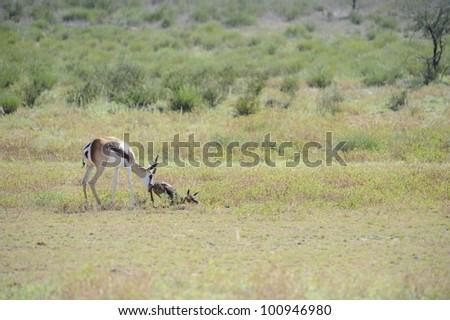 Mother gives newborn lamb a gentle nudge.. Springbuck birth sequence in the kalahari, Urikaruus,Kgalagadi transfrontier park, South Africa, - stock photo