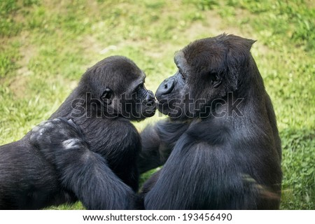mother gorilla kissing her baby  - stock photo