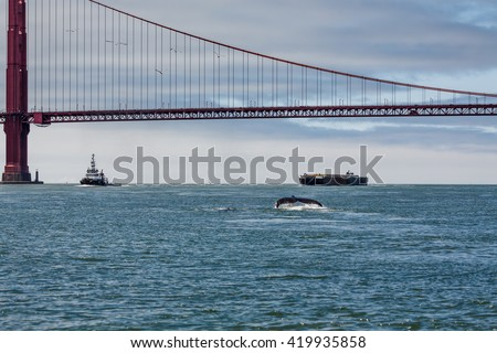 Mother Gray Whale, eschrichtius robustus, a critically endangered species, and baby swimming in San Francisco Bay by the Golden Gate bridge, an unusual occurrence - stock photo