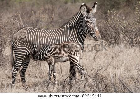 Mother Grevy's zebra suckling her foal  in Buffalow Springs National Park, Northern Kenya. - stock photo