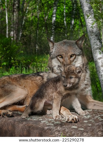 Mother Grey Wolf and Pup (Canis lupus) - captive animals - stock photo