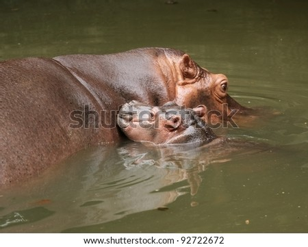 Mother Hippopotamus with her young swimming together. - stock photo