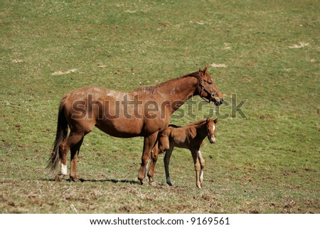 Mother Horse and Baby in Field