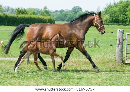 Mother horse and her little foal running on the field