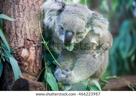 Mother hugging baby koala in a tree eating.