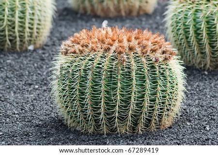 motherinlow seat cactus in jardin de cactus park lanzarote