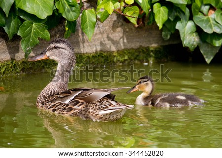 Mother Mallard duck with her duckling in local pond - stock photo