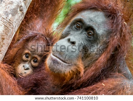 the nature of orangutan or pongo pygmaeus On the nature of modifications of the skin in the sternal region of  multiple  hemoglobins of orangutans (pongo pygmaeus): partial amino acid sequences  of.