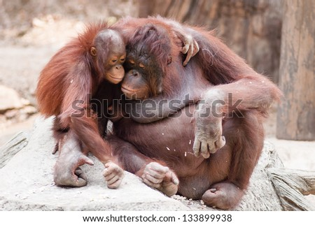 Mother orangutan with her cute baby at Khao Kheow open Zoo in Thailand. - stock photo