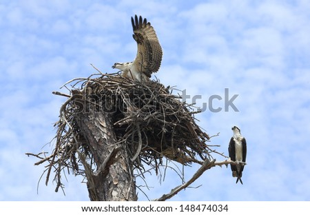 Mother Osprey Looks on as Baby Exercises It's Wings in the Nest