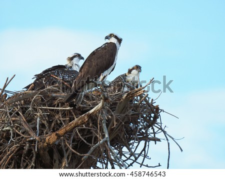 Mother Osprey Watches Over Her Two Nest Bound Chicks