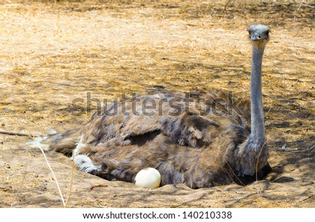 Mother ostrich with the eggs - stock photo