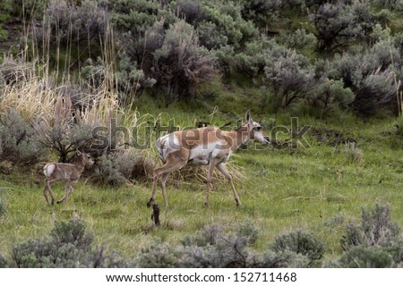 Mother Pronghorn with Calf - stock photo