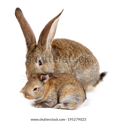 Mother rabbit with newborn bunny on white background