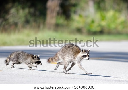 Mother Raccoon and kit crossing the road - stock photo