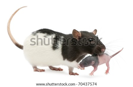 Mother rat carrying her baby in her mouth, 5 days old, in front of white background - stock photo