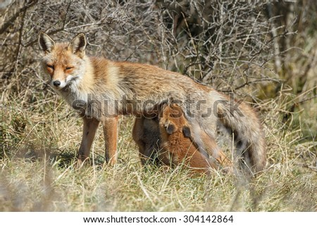 Mother red fox feeding there cubs - stock photo