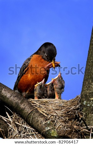 Mother Robin Feeding Worm To Three Hungry Open Mouthed Chicks In The Nest. - stock photo