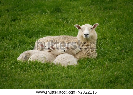 Mother sheep and her 3 lambs - stock photo
