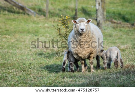 Mother sheep letting her two lambs get a drink of milk