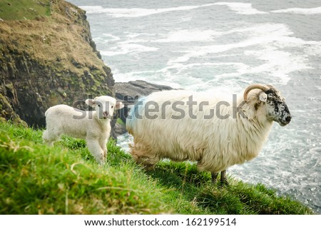 Mother sheep with baby lamb on grassy cliffs in Dingle, Ireland. - stock photo
