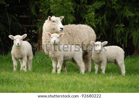 mother sheep with her lambs - stock photo