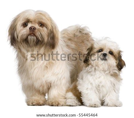 Mother Shih Tzu and her puppy, 3 years old and 3 months old, against white background - stock photo