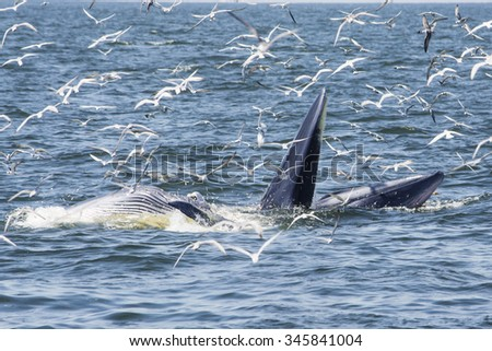 Mother & son Bryde's whale feeding with seagulls eat small fish from the mouth in Thai gulf