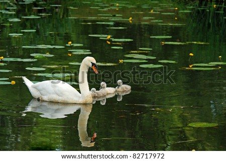 Mother swan with babies - stock photo