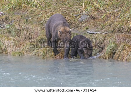 Mother Teaching her Cub to Fish in the Chlkoot River Near Haines, Alaska