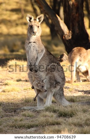 Mother Wallaby with Joey - stock photo