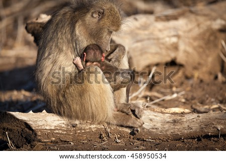 Mother with baby baboon in the Kruger National Park, South Africa