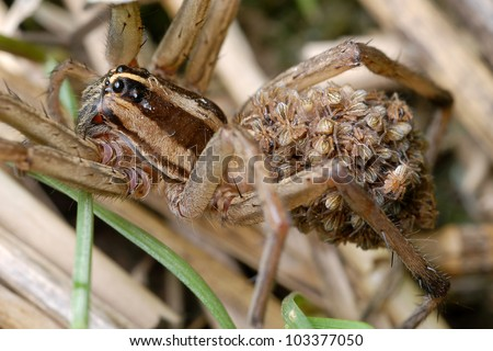 Mother wolf spider with many babies riding on her back (Lycosidae Araneae) - stock photo